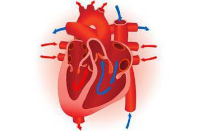 Средний слой стенки сердца называется