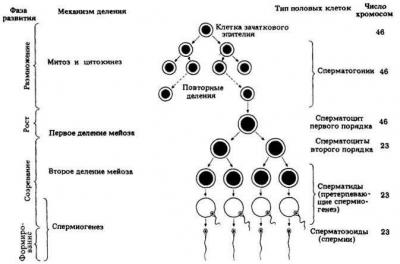 Сперматогенез отличается от овогенеза наличием стадии