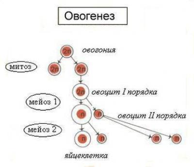 Отличия сперматогенеза от овогенеза гистология