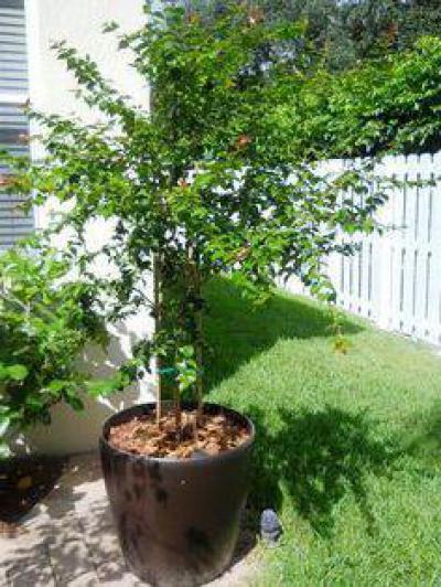 Суринамская вишня (питанга): описание, особенности выращивания и полезные свойства 163