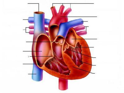 Схема сердца с подписями фото 51