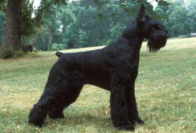 большие черные собаки фото