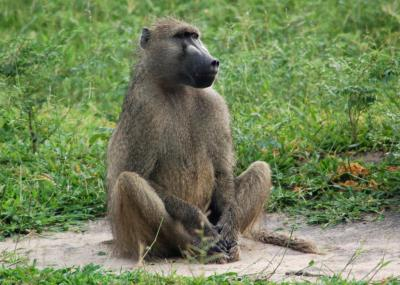 Красная жопа голой обезьяны