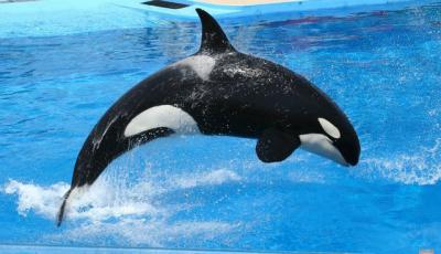 Косатка или касатка - как правильно  Косатка - морское млекопитающее ... 37152af9f4b