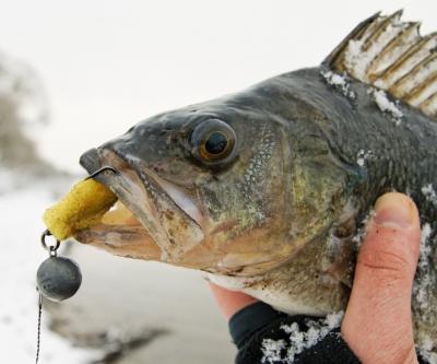Ловля судака зимой: техника, оснастка, наживки и приманки