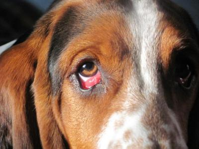 фото ячмень на глазу у собаки