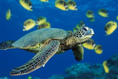 картинки черепаха в воде