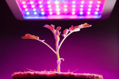 Светодиодная для выращивания марихуаны поджечь поле конопли