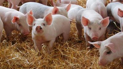 Как правильно зарезать свинью - МыДачники