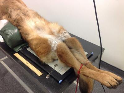 Изображение - Локтевой сустав щенка 3005745