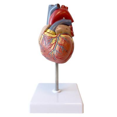 Норма жидкости в перикарде сердца