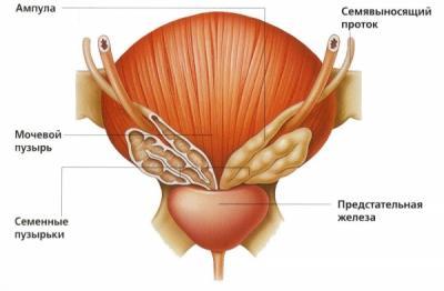 Содержание сперматозоидов в секрете
