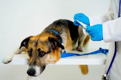 Пиометра - это скопление гноя в полости матки. Пиометра у собаки: симптомы, диагностика, лечение, осложнения после операции