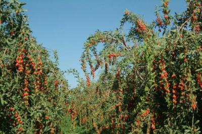 ягоды годжи отзывы фильм