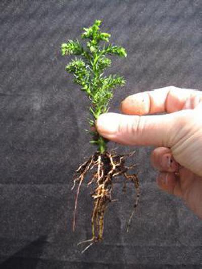 Как вырастить бонсай из сосны у себя в саду: 10 дельных советов 46