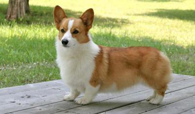 любимая порода собак английской королевы фото