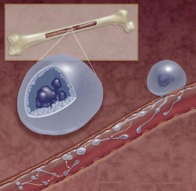 Тромбоциты образуются в селезенке