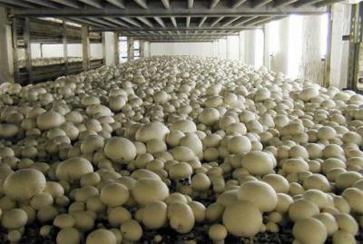 Изображение - Как зарабатывать на выращивании шампиньонов дома 768651