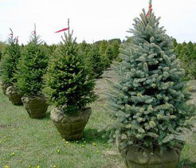 Подбираем быстрорастущие деревья для сада и дачи