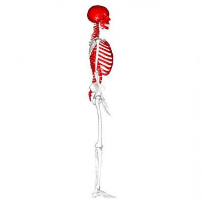 Изображение - Суставы осевого скелета 976863
