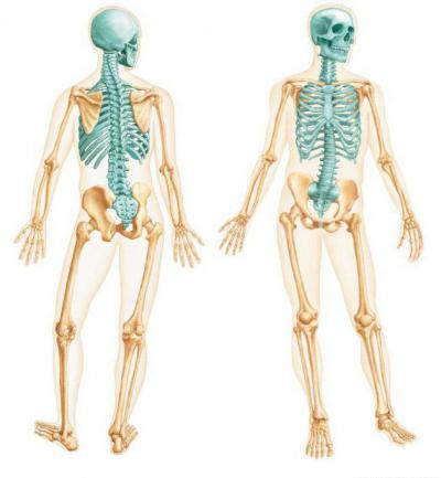 Изображение - Суставы осевого скелета 976871