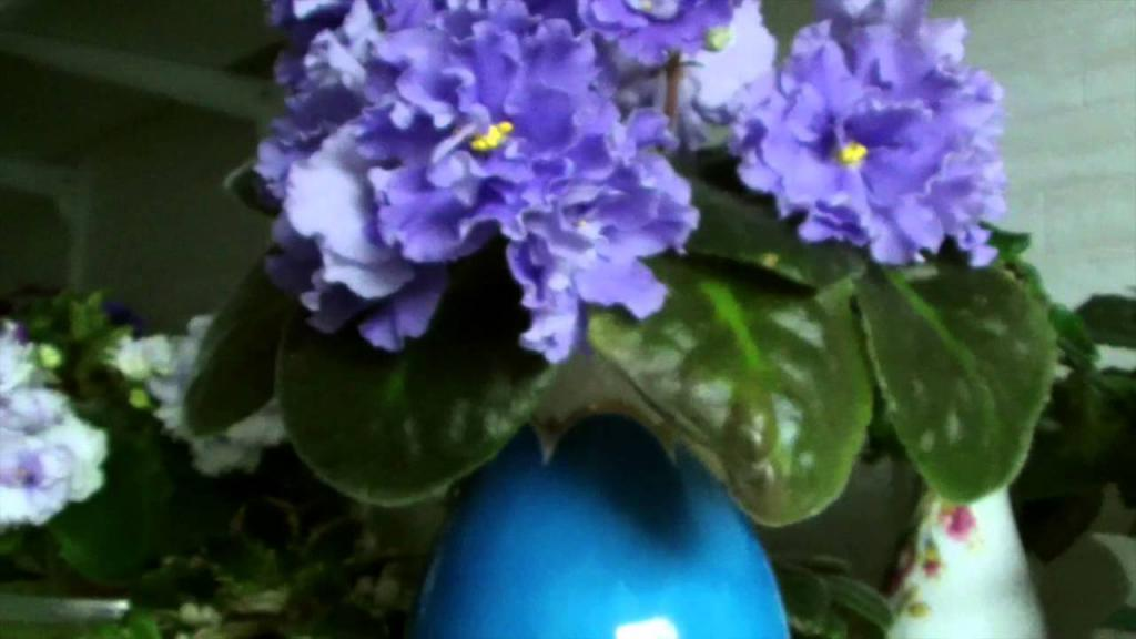 Фиалка синяя: названия и описание сортов. Сорт Голубой Дракон. ЕК-Синий Иней. Фиалка Голубая Лагуна