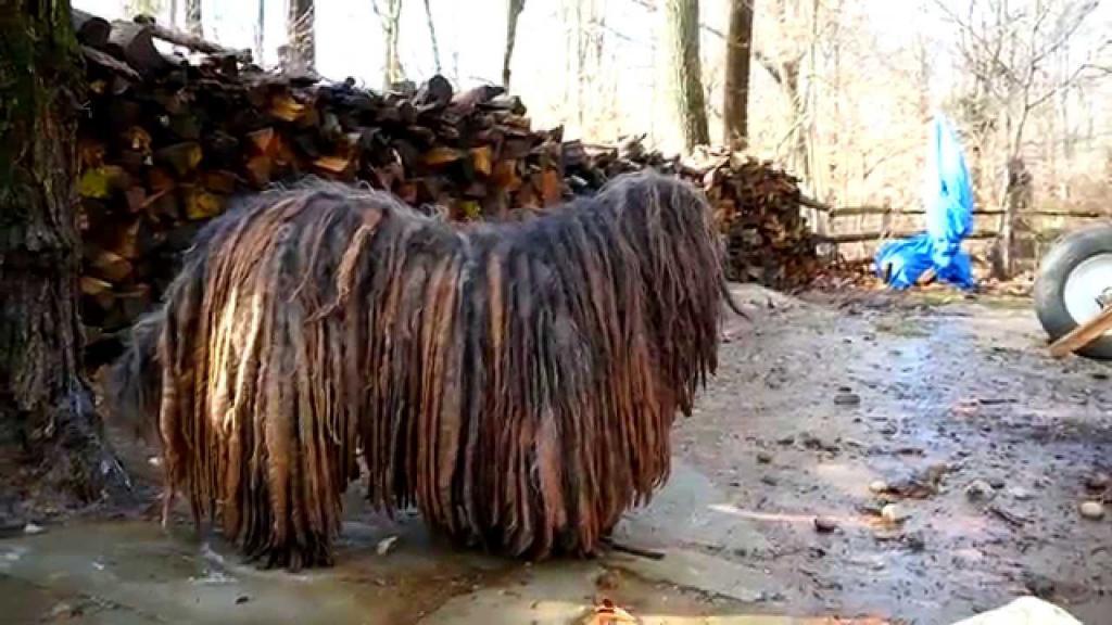 Бергамская овчарка: история, внешний вид, характер породы