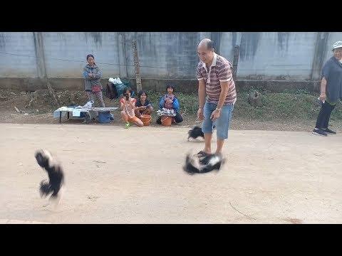 Забавная группа акробатов. Милые чихуахуа повеселили посетителей парка (видео)
