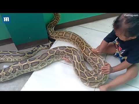 «И тебя вылечим»: трехлетняя девочка играет в доктора и лечит огромного питона (видео)