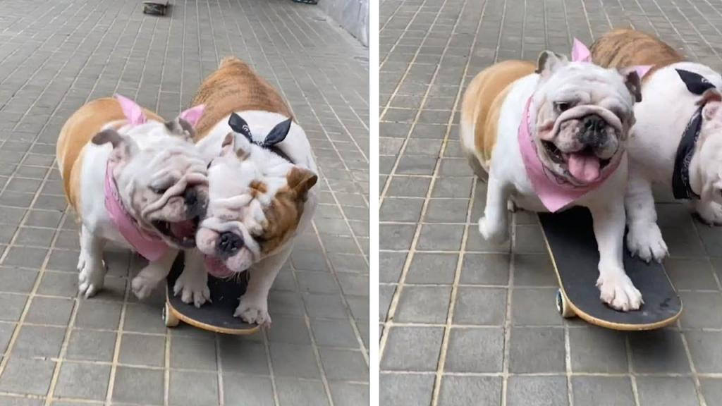 Забавное видео собаки, которая едет на скейтборде, но ее собрат пытается отнять его