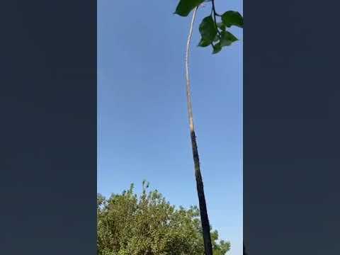 Мужчина, срезавший верхушку пальмы, почувствовал себя как на аттракционе (видео)