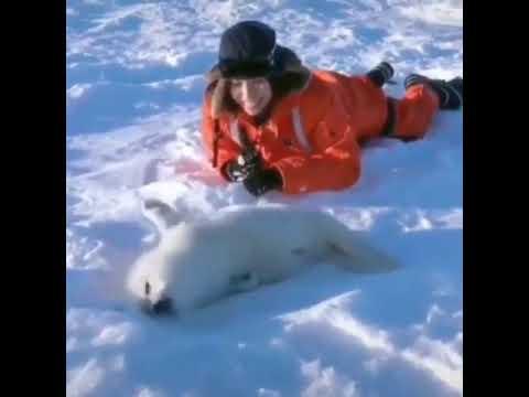 Увидеть новорожденных гренландских тюленей можно зимой на островах Мадлен в Канаде (видео)
