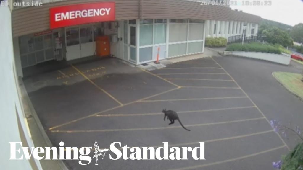 В Австралии неожиданный гость заскочил в больницу (видео)