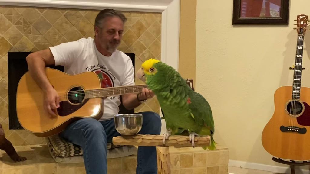 Ему бы на большую сцену. Попугай Тико поет под гитару (видео)