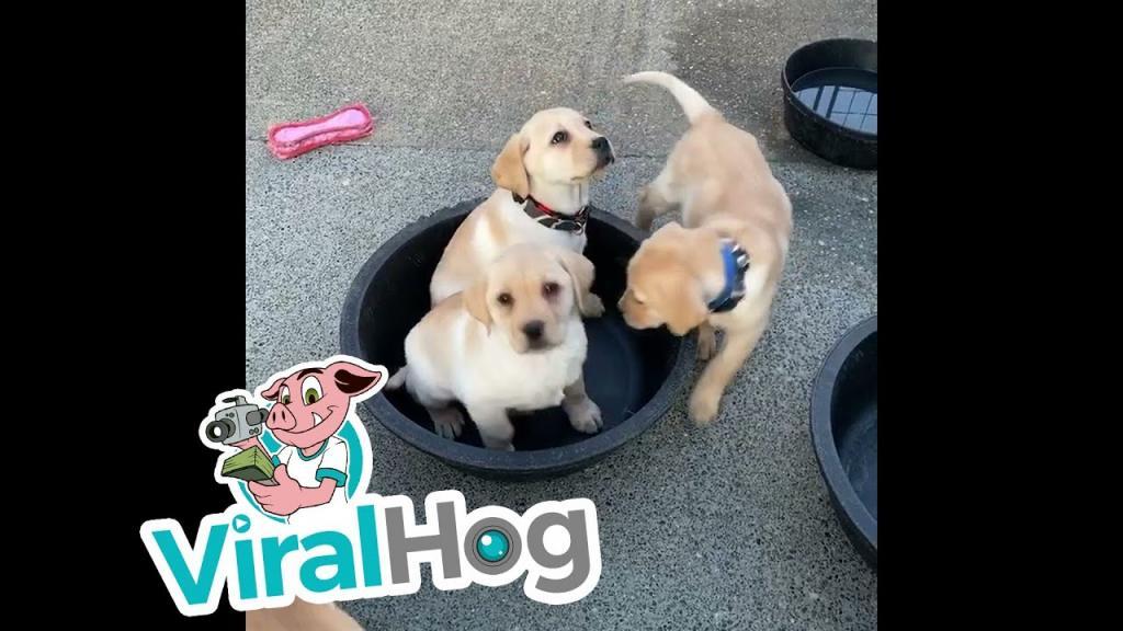 Упаковались! Шестеро щенков смогли поместиться в небольшом тазике (видео)